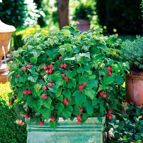 как красиво посадить малину