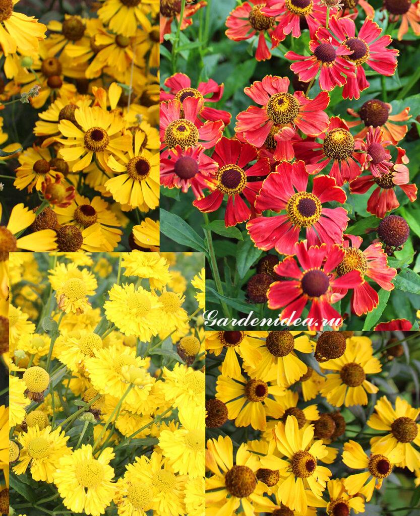 Гелениумы - многолетники осеннего цветения