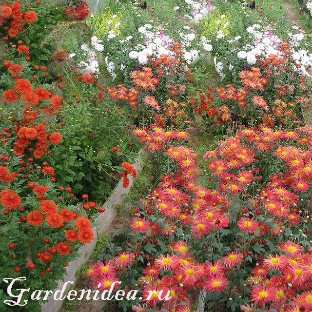 Многолетние цветники из хризантемы