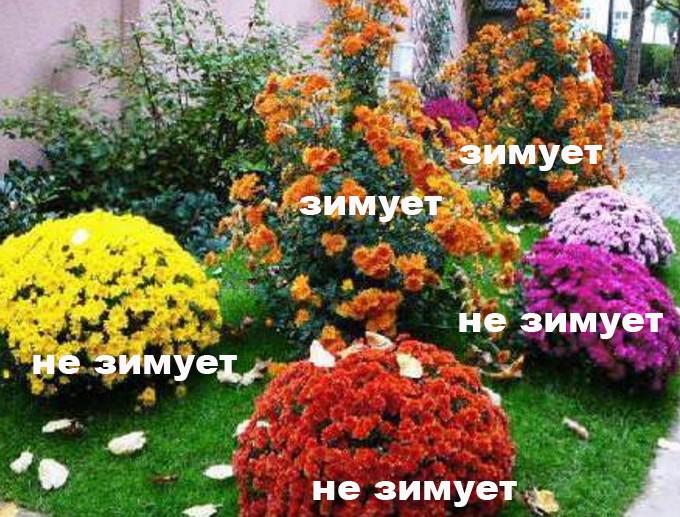 внешний вид зимующих и незимующих хризантем