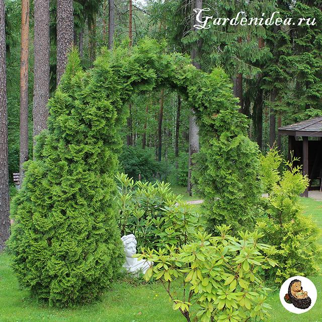 Оригинальная хвойная арка из туи, которая наполовину засохла