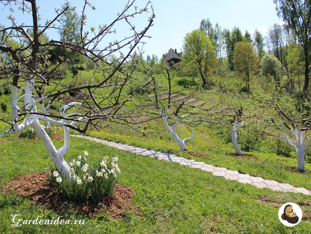 Нарциссы в приствольных кругах у яблони